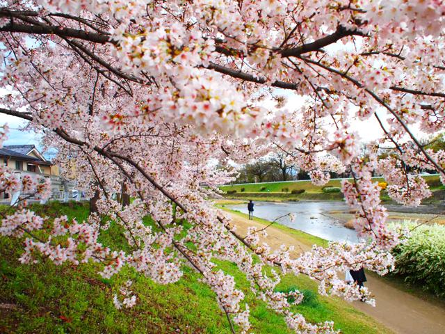 加茂川 桜2